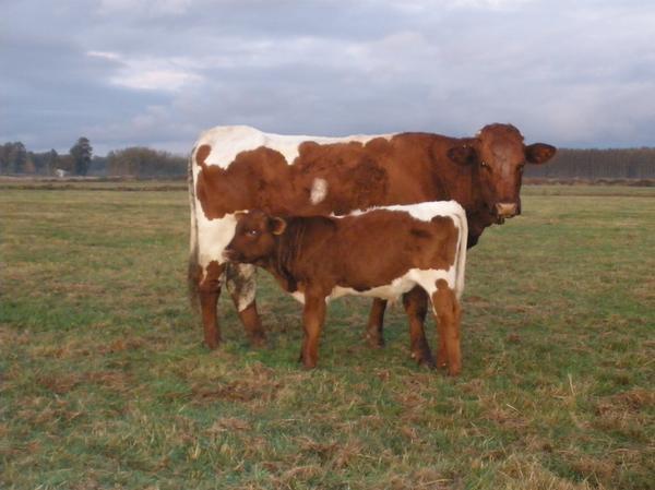 Verimli Sığır Cinsi Pinzgau Hakkında Bilgi